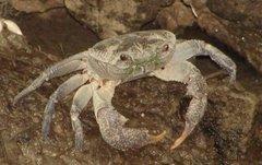 krab z rodos