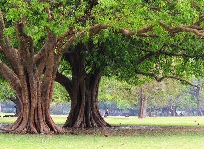 bajka indyjska - drzewo figowe