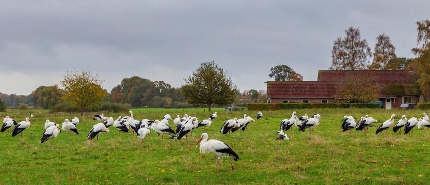 bociany w Holandii